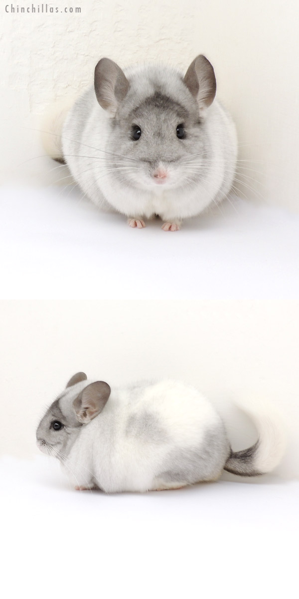 13259 Herd Improvement Quality White Mosaic Male Chinchilla