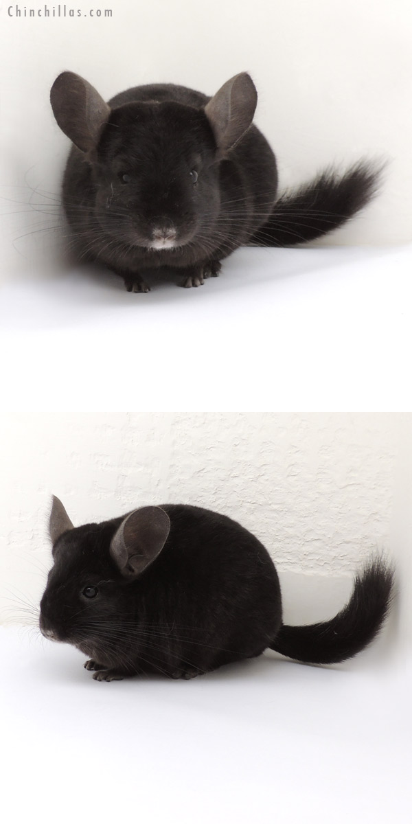 13260 Ebony ( Locken Carrier ) Female Chinchilla