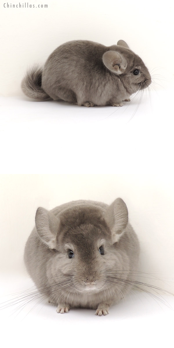 13267 Top Show Quality Wrap Around Violet Male Chinchilla