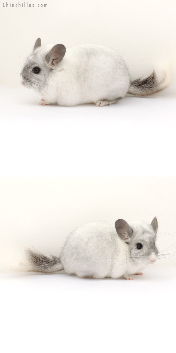 13269 Herd Improvement Quality White Mosaic Male Chinchilla