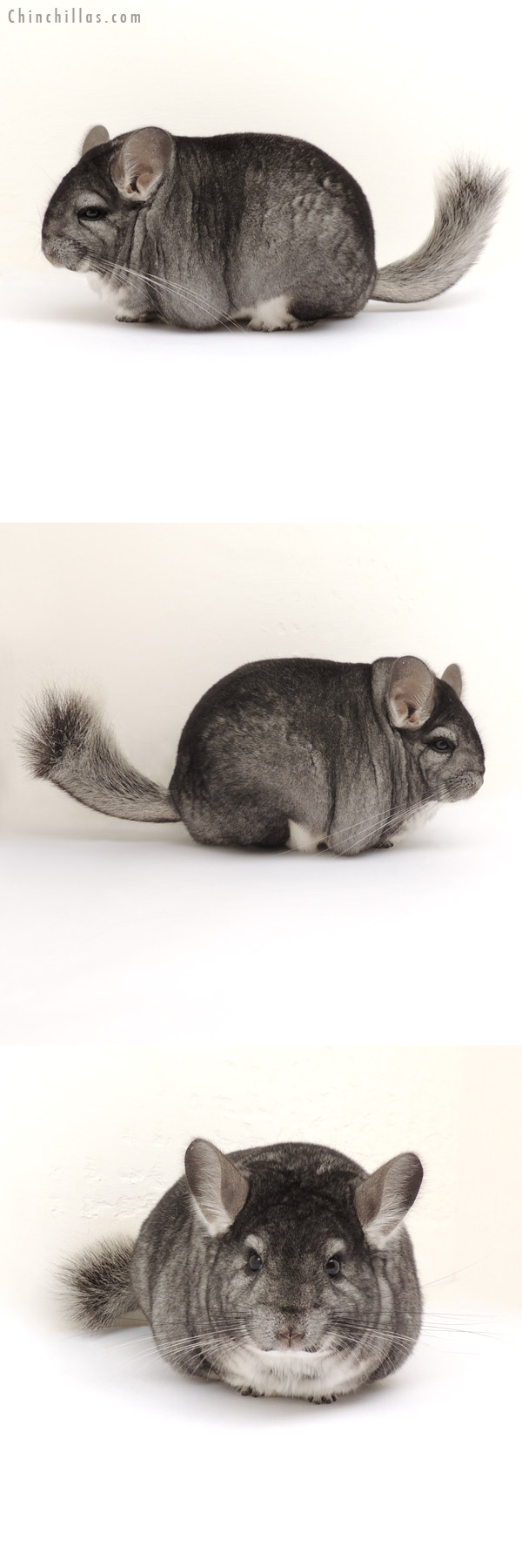 13284 Large Blocky Premium Production Quality Standard Female Chinchilla