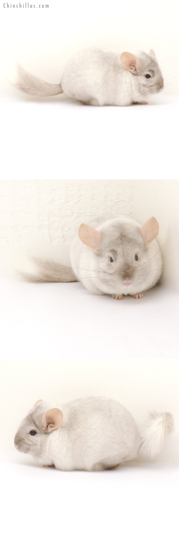 13282 Large Tan & White Mosaic Male Chinchilla