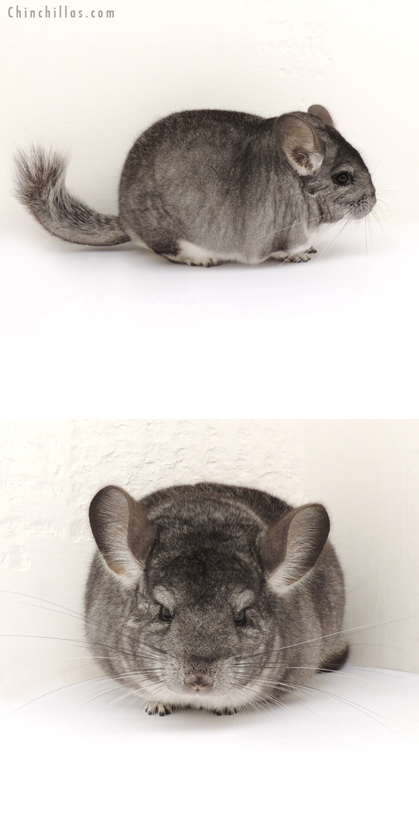 13290 Extra Large Show Quality Standard Female Chinchilla