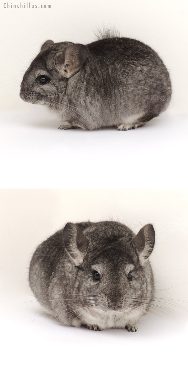 13288 Large Show Quality Standard Female Chinchilla