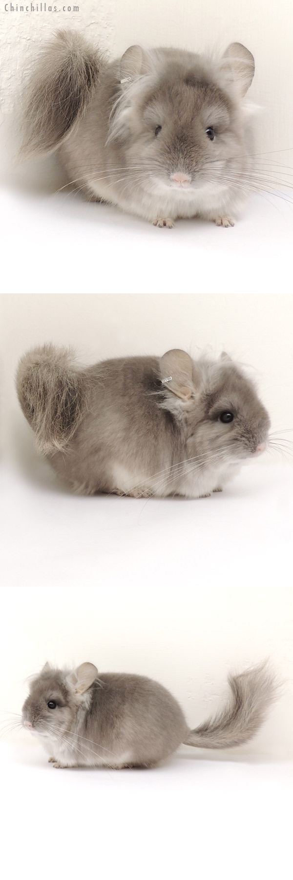 13298 Exceptional Violet Royal Persian Angora Male Chinchilla