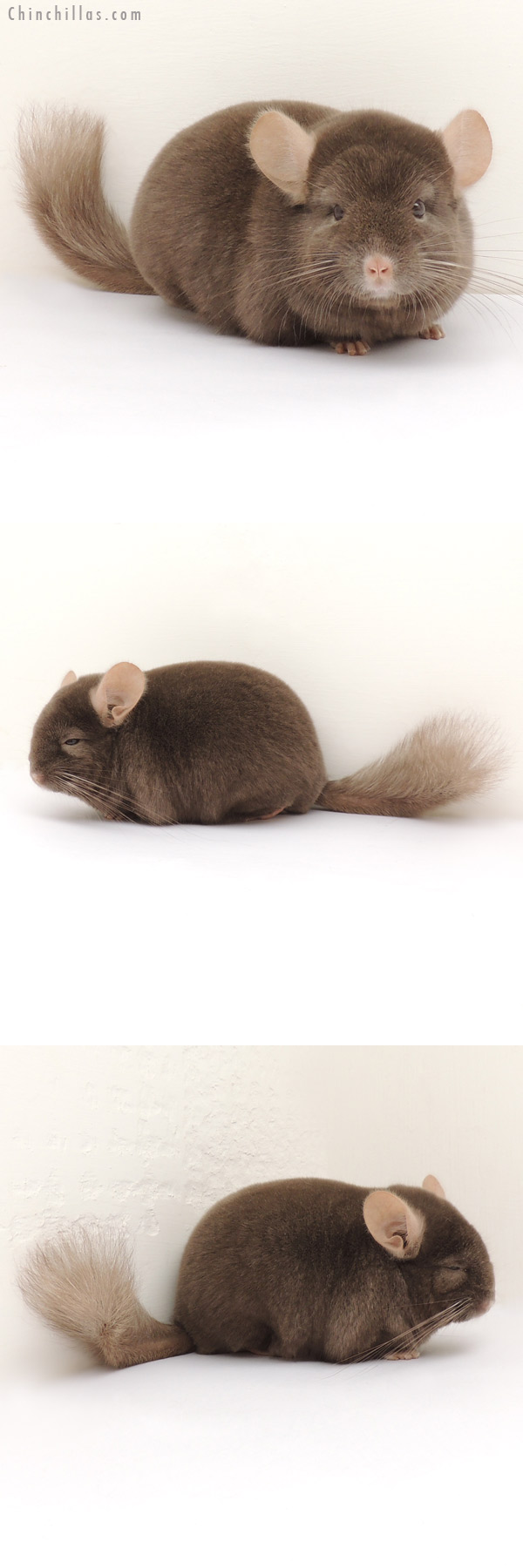13299 Herd Improvement Quality Dark Tan Male Chinchilla