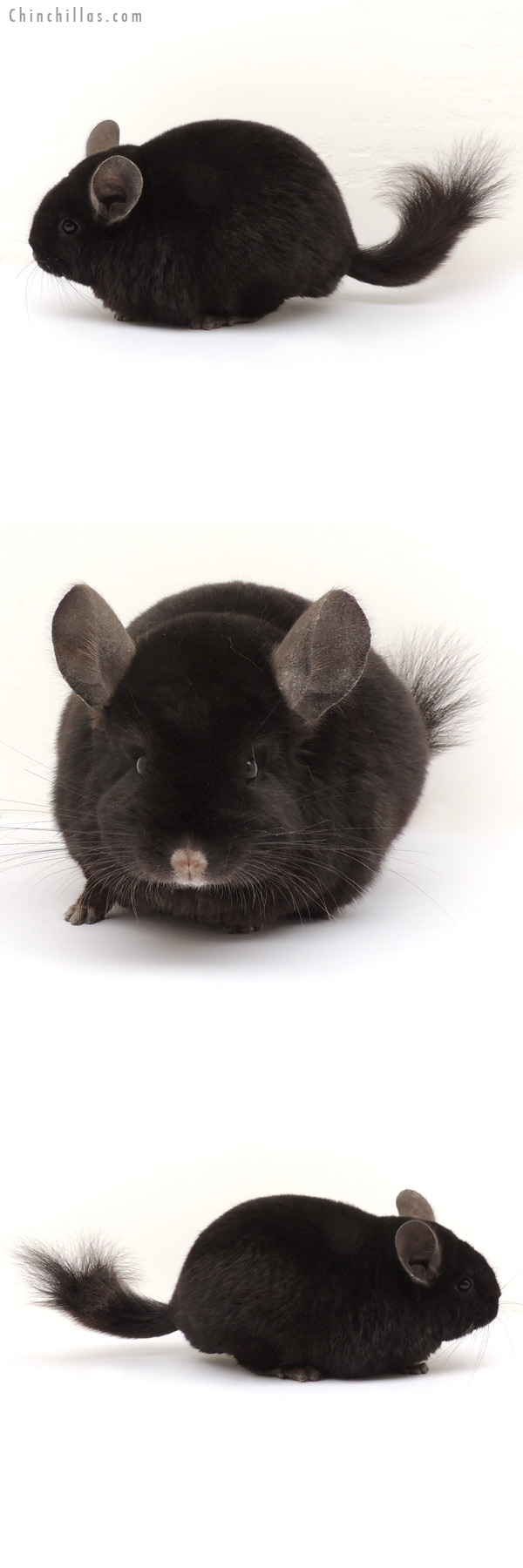13297 Ebony ( Locken Carrier ) Female Chinchilla