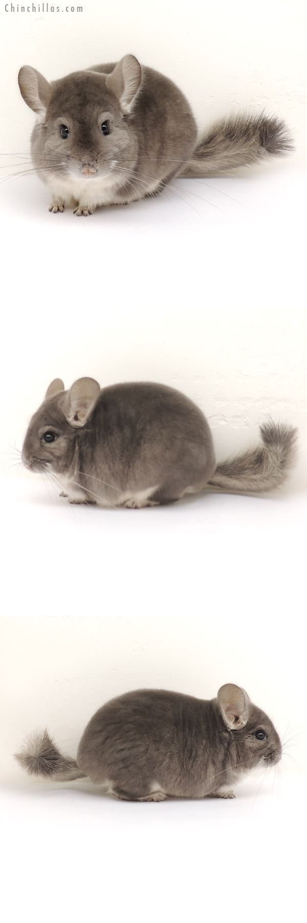 13301 Herd Improvement Quality Violet Male Chinchilla