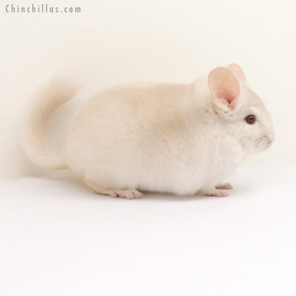 13308 Goldbar Male Chinchilla