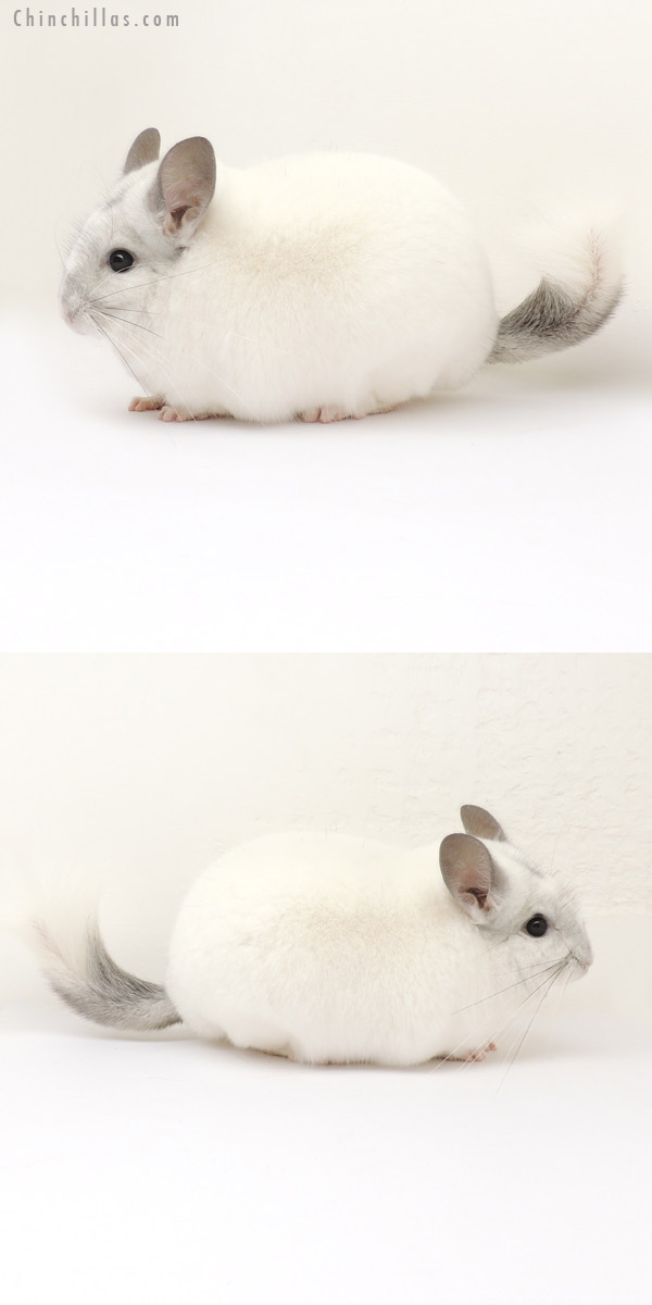 13304 Large Herd Improvement Quality Predominantly White Male Chinchilla