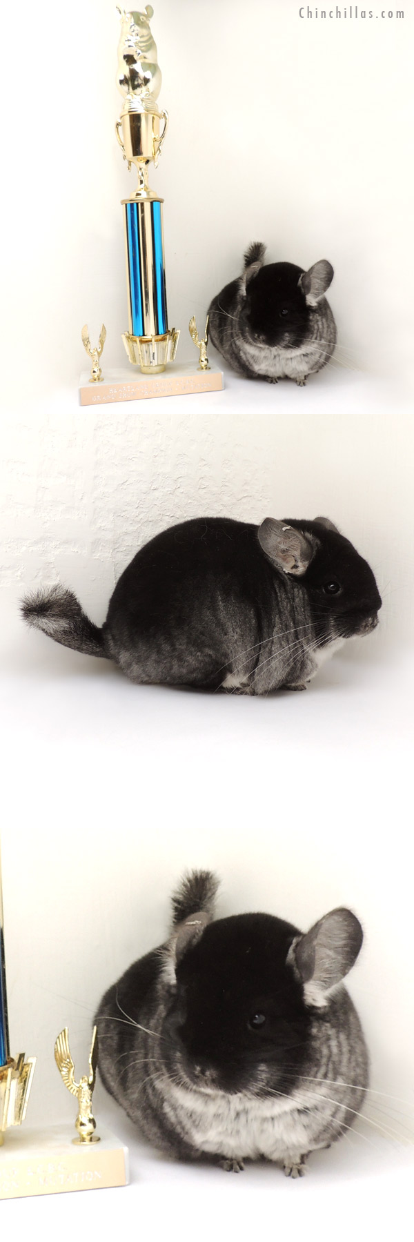 13342 Grand Show Champion Black Velvet Female Chinchilla
