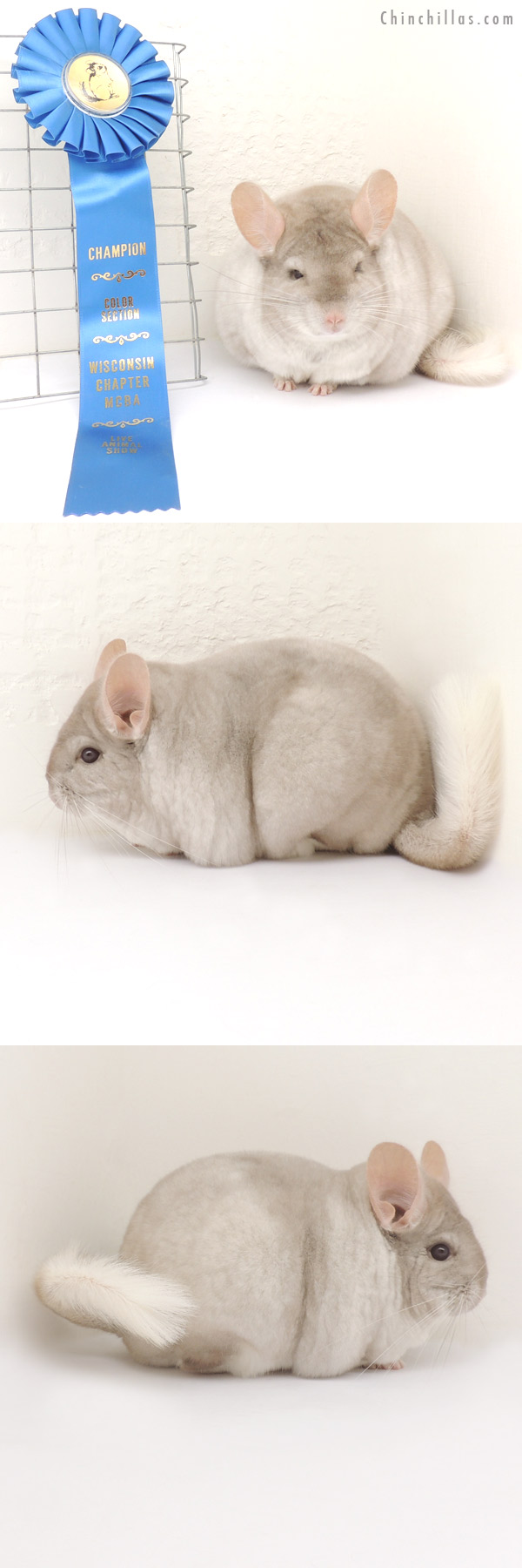 13347 Extra Large, Blocky Section Champion Pink White Female Chinchilla