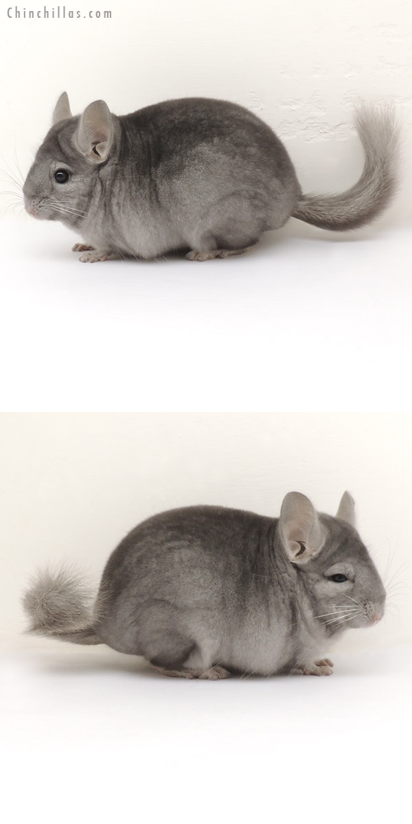 13354 Show Quality Wrap Around Sapphire Female Chinchilla