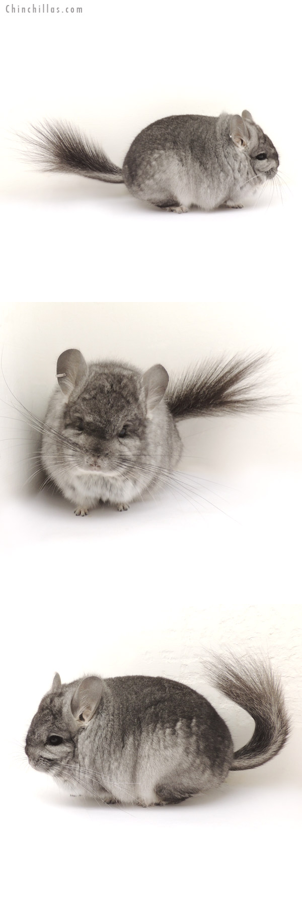 13350 Exceptional Standard Royal Persian Angora Male Chinchilla