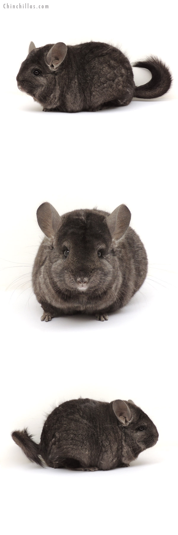 13357 Extra Extra Large Ebony ( Locken Carrier ) Female Chinchilla