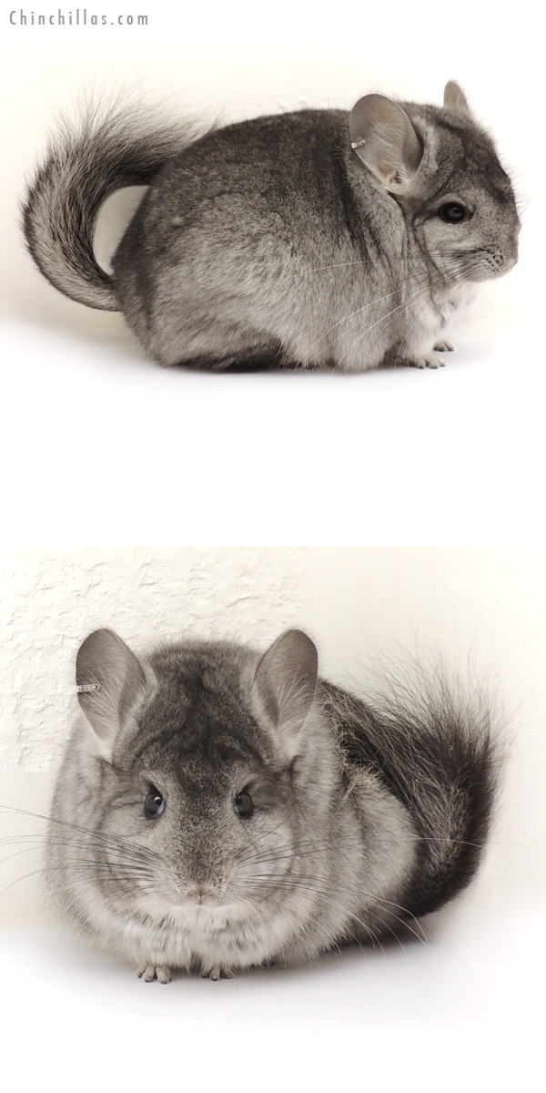13359 Standard Royal Persian Angora Female Chinchilla