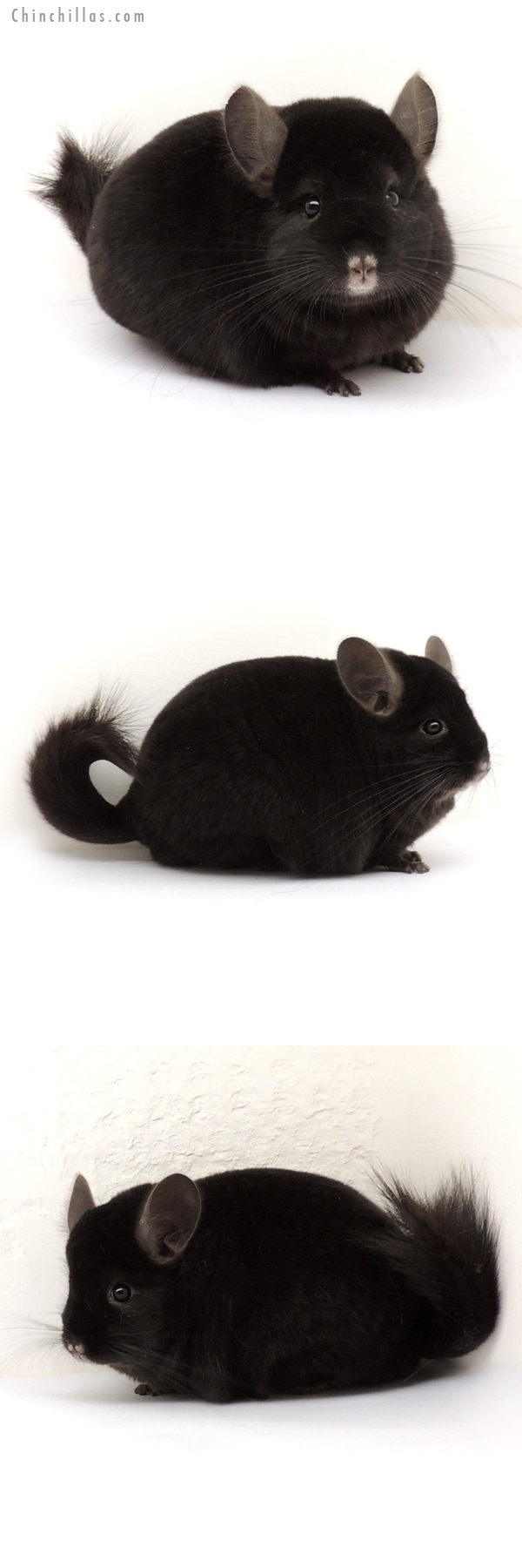 13371 Large Show Quality Ebony Male Chinchilla