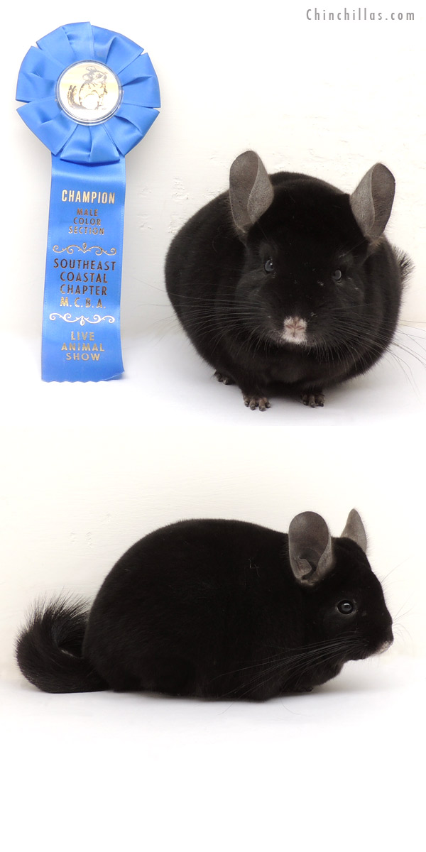 13374 Section Champion Ebony Male Chinchilla
