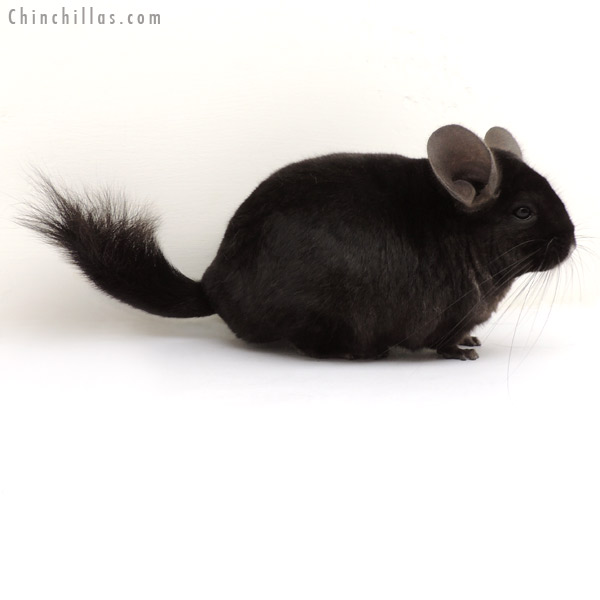 13360 Large Ebony ( Locken Carrier ) Female Chinchilla