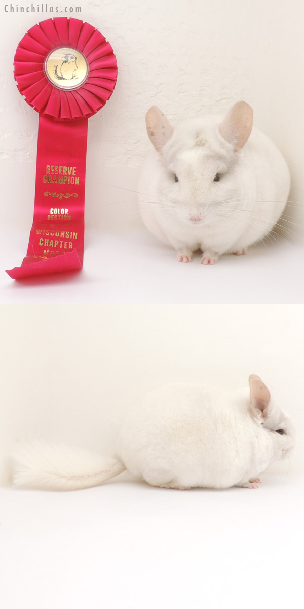 13376 Multi Champion Pink White Male Chinchilla