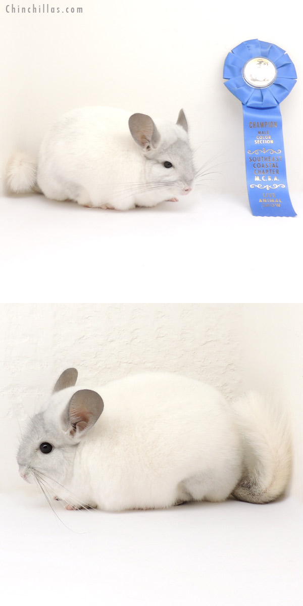 13375 Section Champion White Mosaic ( Violet Carrier ) Male Chinchilla