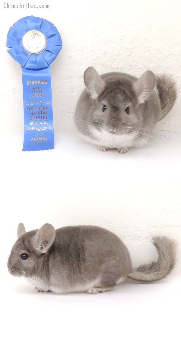 13377 1st Place & Section Champion Violet Male Chinchilla