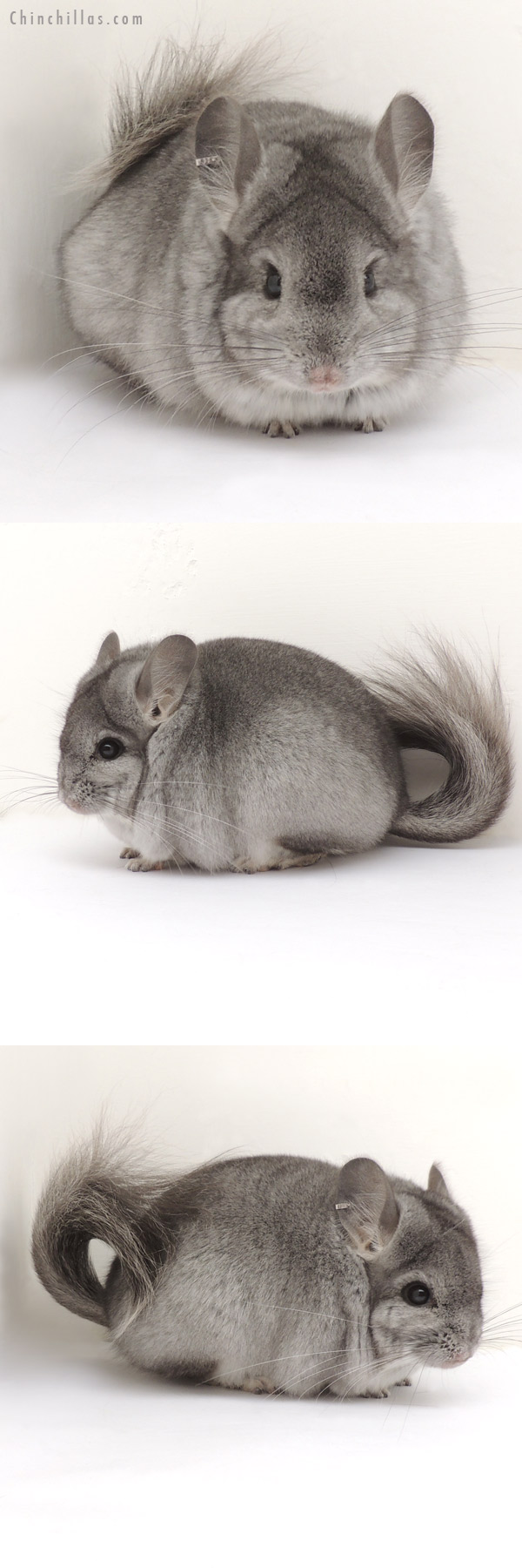 13390 Standard Royal Persian Angora Male Chinchilla