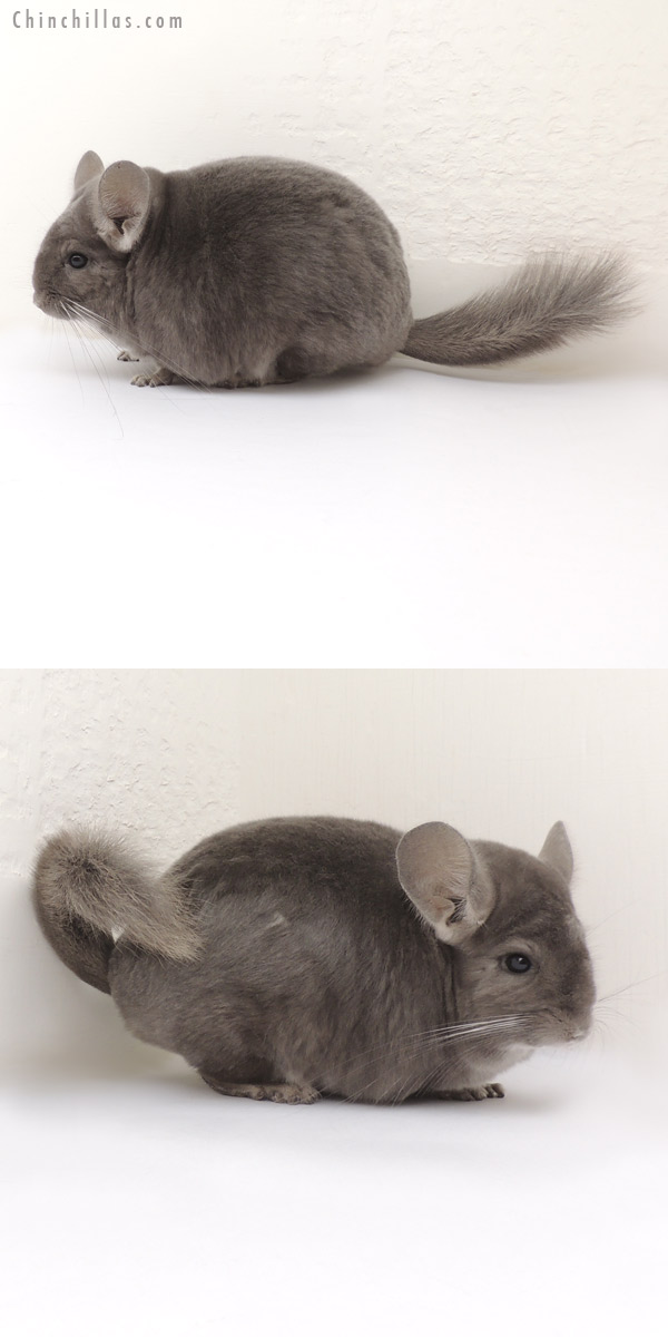 13391 Large Violet ( Ebony Carrier ) / Light Wrap Around Violet Female Chinchilla