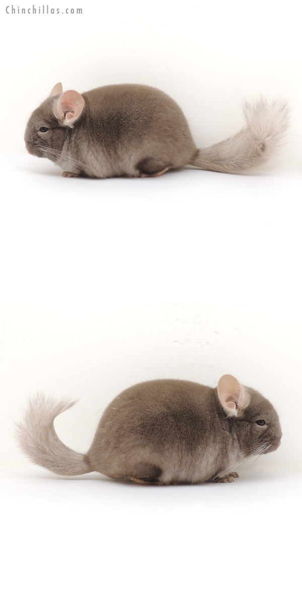 13388 Show Quality Brevi type TOV Tan ( Violet Carrier ) Female Chinchilla