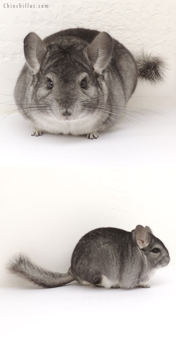 13394 Premium Production Quality Standard Female Chinchilla