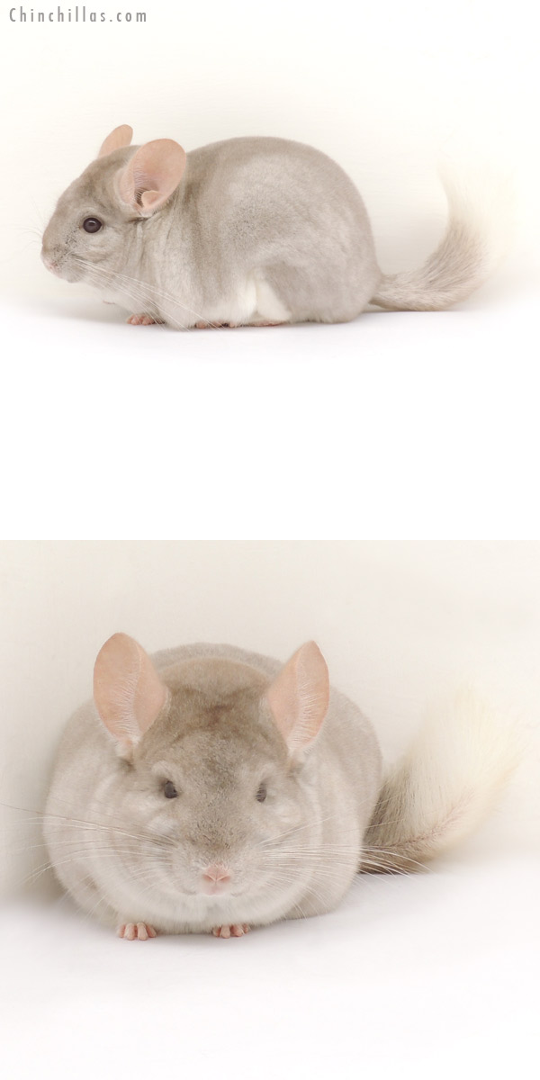 13395 1st Place Beige and White Mosaic Male Chinchilla