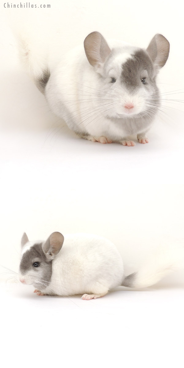 14004 Extreme Tri-tone Violet & White Mosaic Female Chinchilla