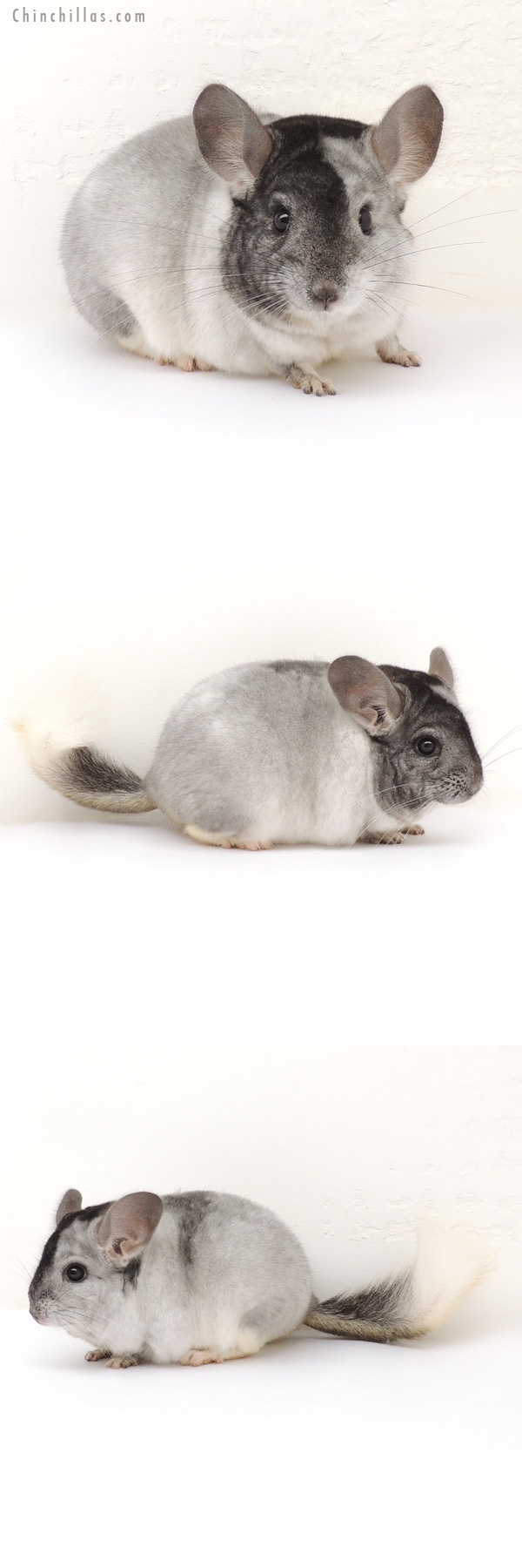 14002 Show Quality Extreme White Mosaic Male Chinchilla