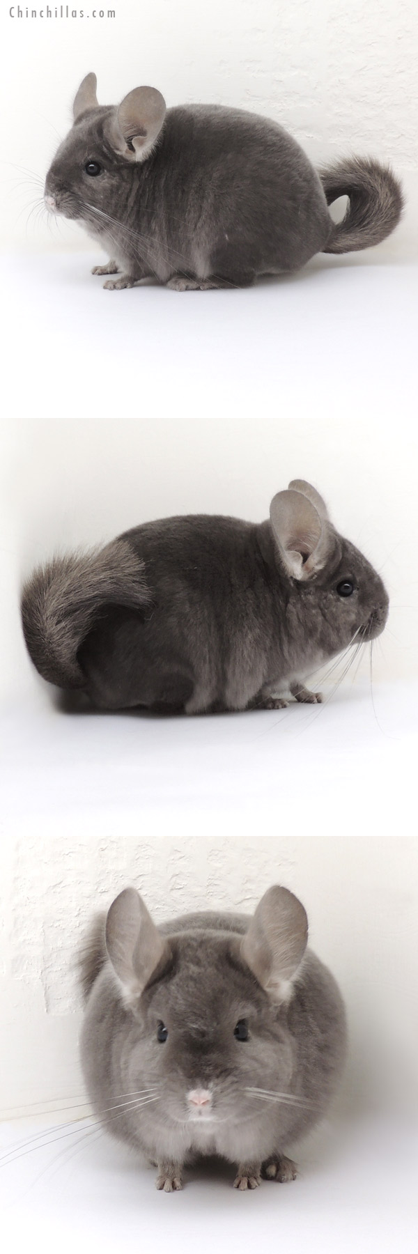14001 Show Quality Wrap Around Violet Male Chinchilla