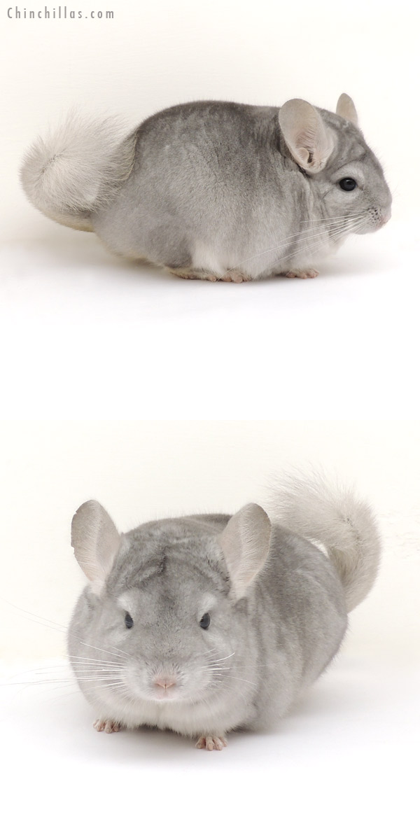 14011 Exceptional Blocky Sapphire Female Chinchilla