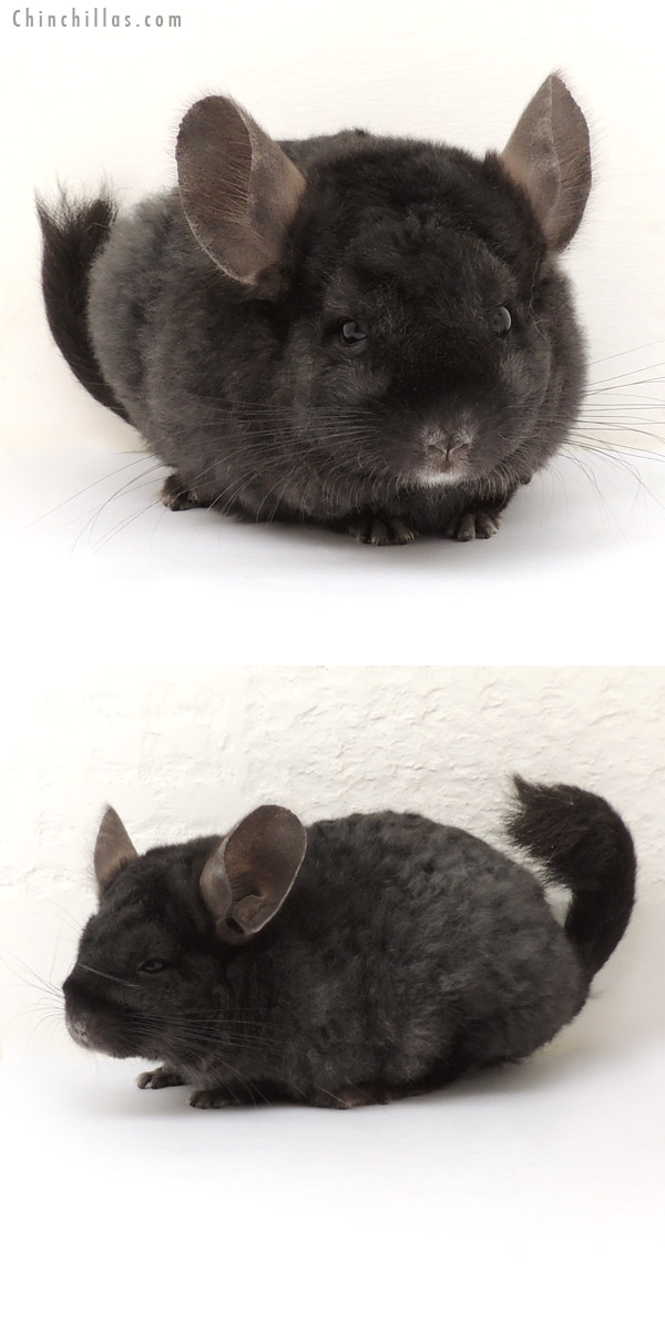14019 Full Locken Ebony Female Chinchilla