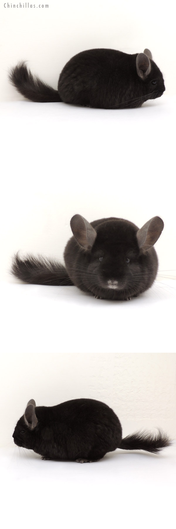 14014 Ebony ( Locken Carrier ) Female Chinchilla