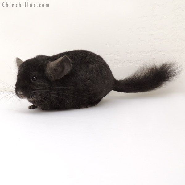 14017 Ebony Quasi Locken Male Chinchilla