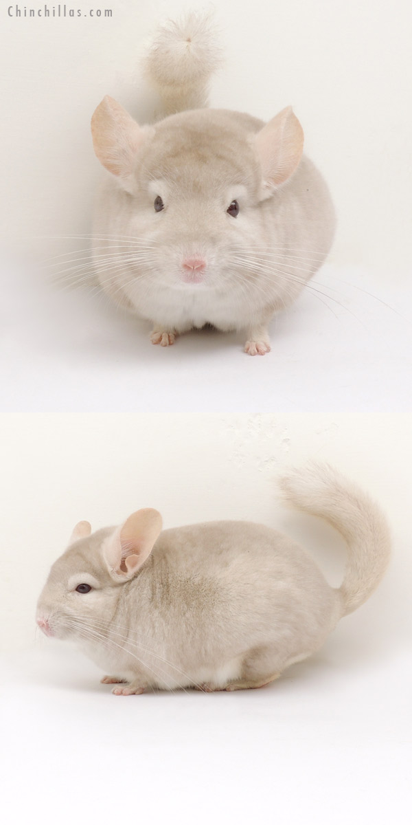 14040 Homo Beige Male Chinchilla