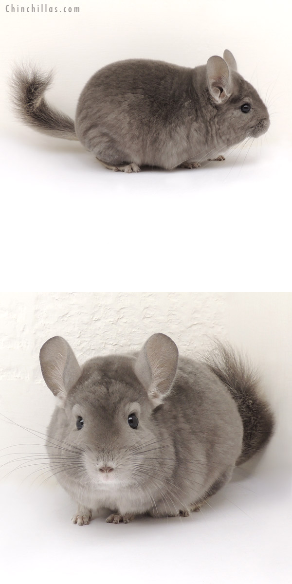 14039 Show Quality Wrap Around Violet Male Chinchilla
