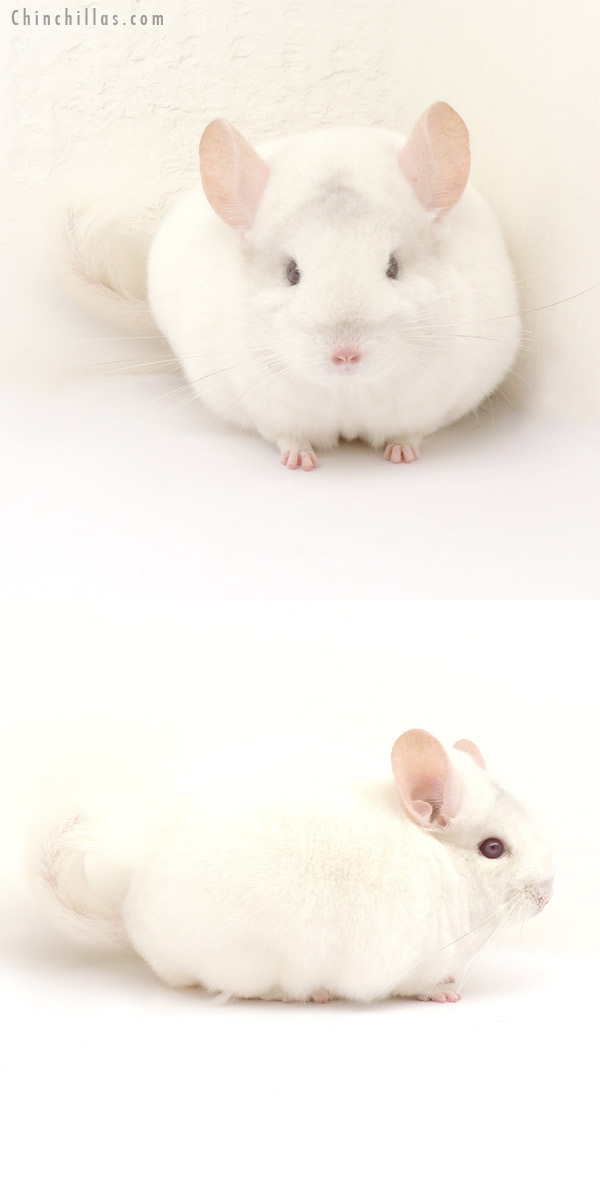 14049 Premium Production Quality Pink White Female Chinchilla