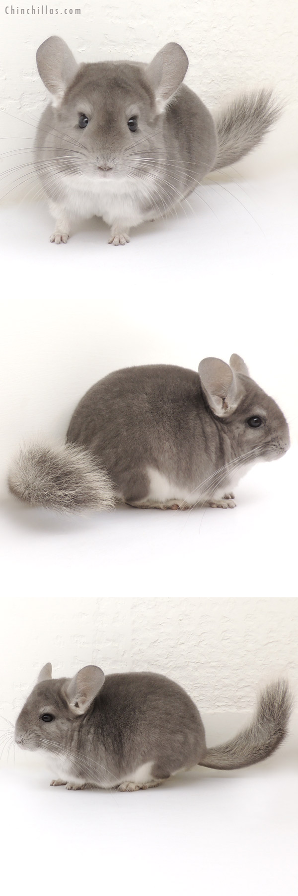14043 Show Quality Violet Female Chinchilla