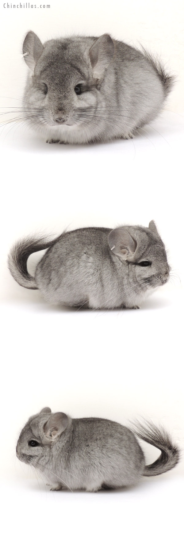 14056 Standard CCCU Royal Persian Angora Female Chinchilla