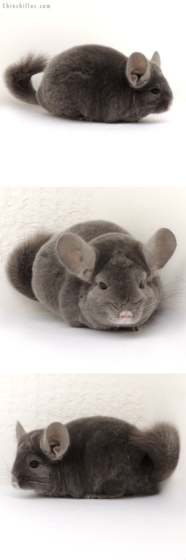 14050 Show Quality Wrap Around Violet Female Chinchilla