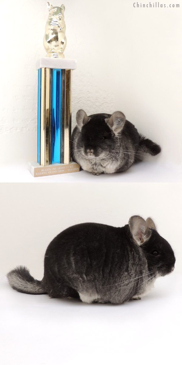 14057 Extra Large Reserve Grand Show Champion Black Velvet Male Chinchilla