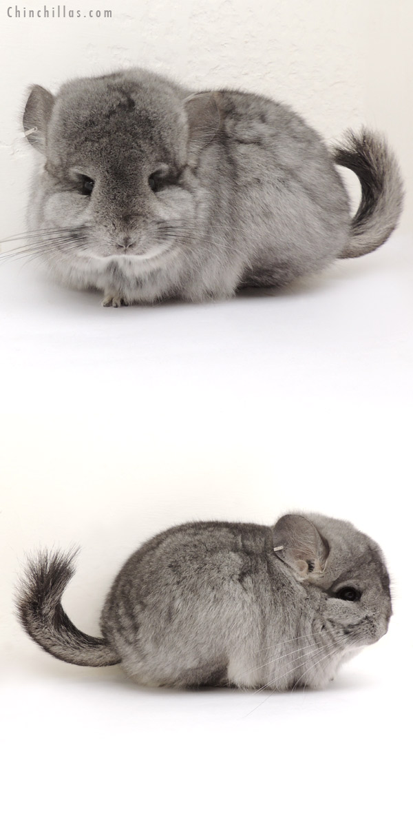 14072 Exceptional Standard CCCU Royal Persian Angora Female Chinchilla
