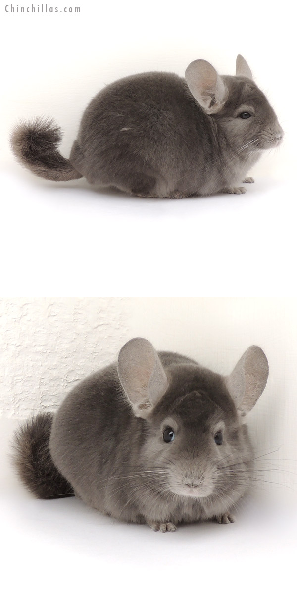 14059 Show Quality Wrap Around Violet Male Chinchilla