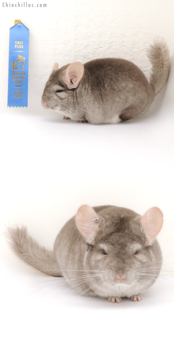 14060 Large 1st Place 5R9 Beige Male Chinchilla