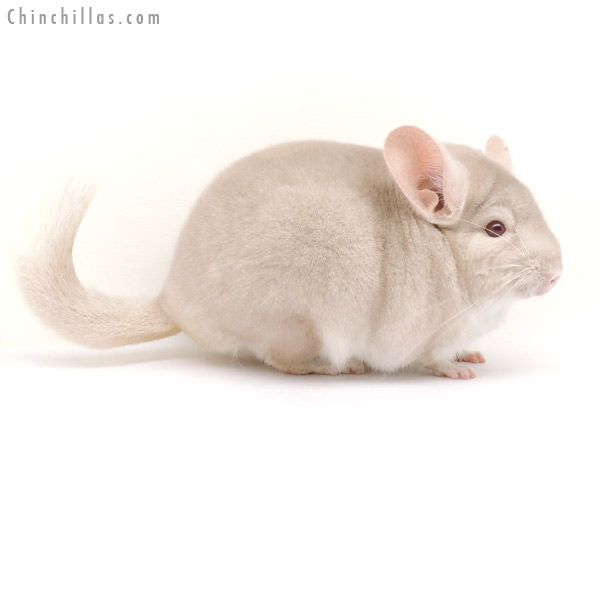 14064 Show Quality Homo Beige Male Chinchilla