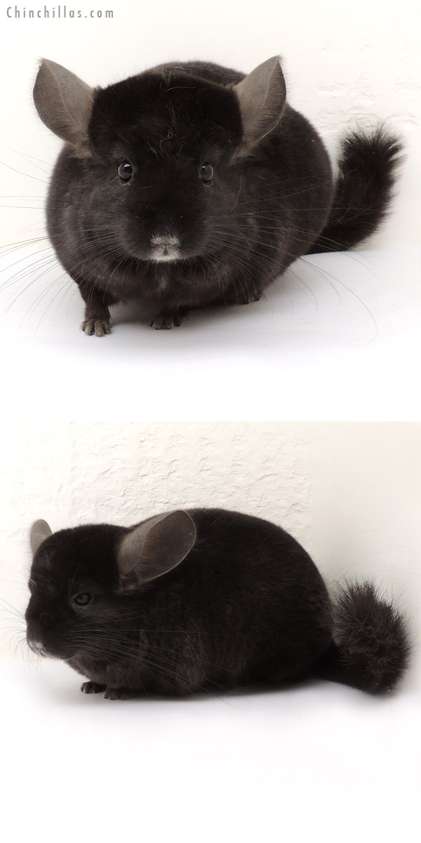 14067 Ebony ( Locken Carrier ) Female Chinchilla